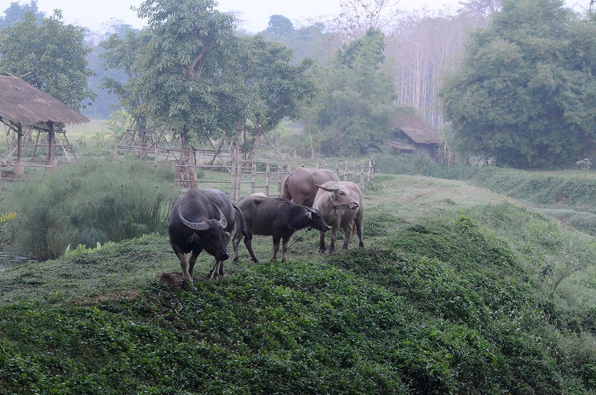 thaibuffalo