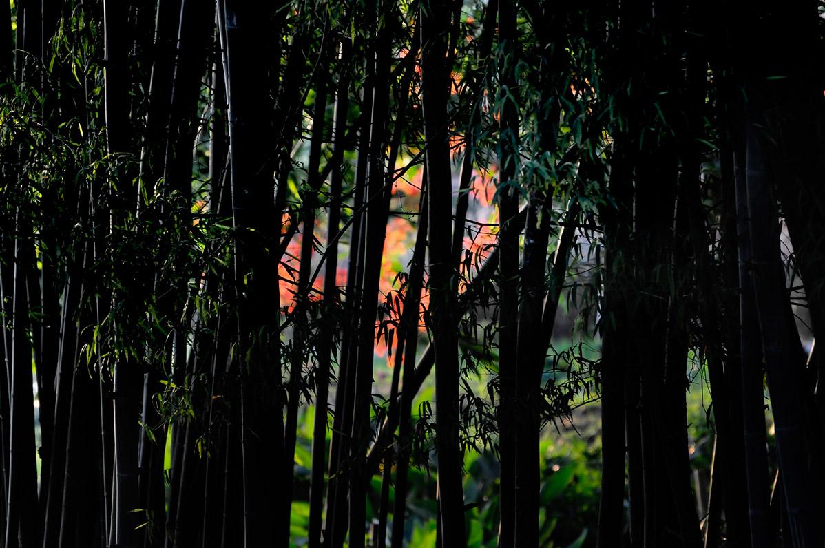 Bamboo Chiang Rai Northern Thailand
