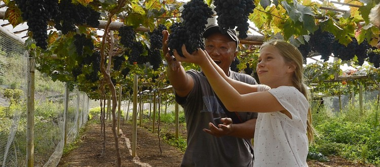 Picking Grapes on Doi Chang Mountain with Charlie